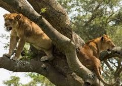 Tree climbing lions at Queen Elizabeth np