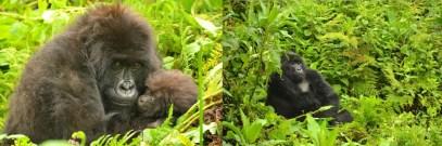 rwanda-gorillas safari