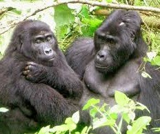 gorilla family in bwindi