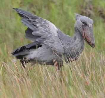 shoebill stork in uganda