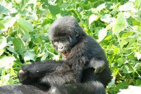 mountain gorillas-uganda