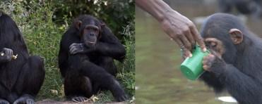 sweet waters chimps-kenya-safaris