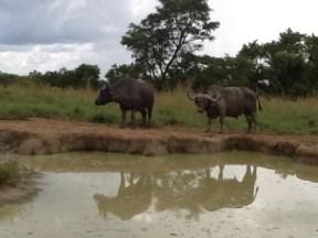 buffaloes-uganda