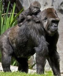 baby gorilla and mother uganda gorilla safaris