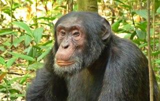 Gorilla, Chimpanzee, Wild game, Safari 12 Days uganda tour