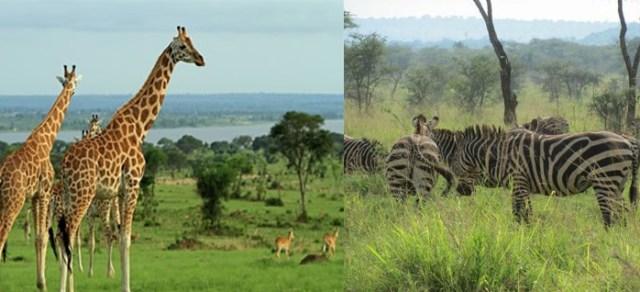 The Savannas of Akagera National Park rwanda
