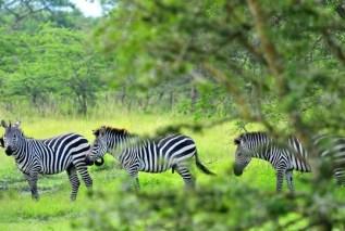 zebras-uganda