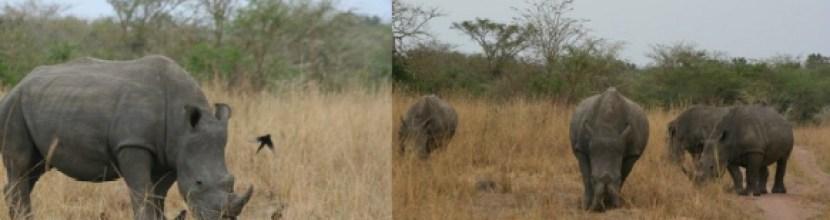 ziwa-rhinos