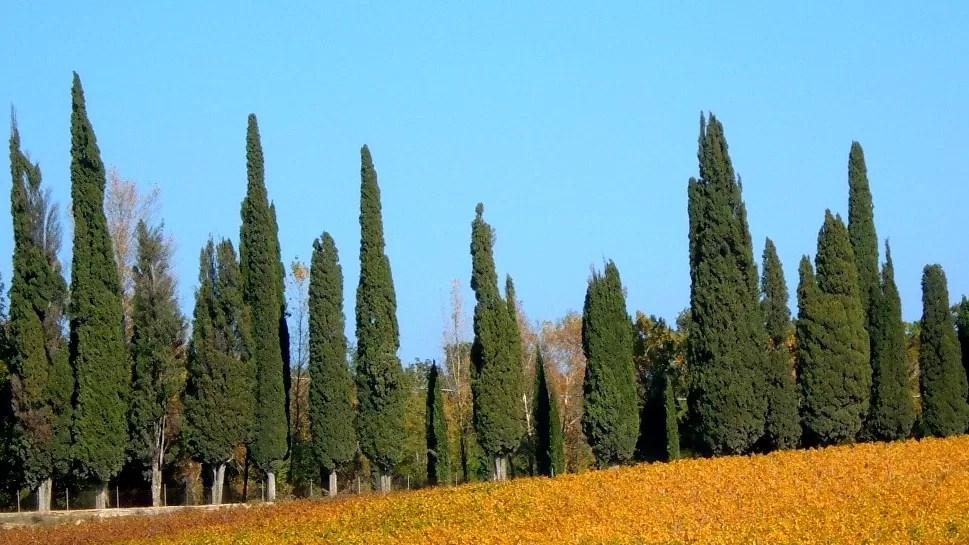 okolice Sieny, cyprysy, Toskania
