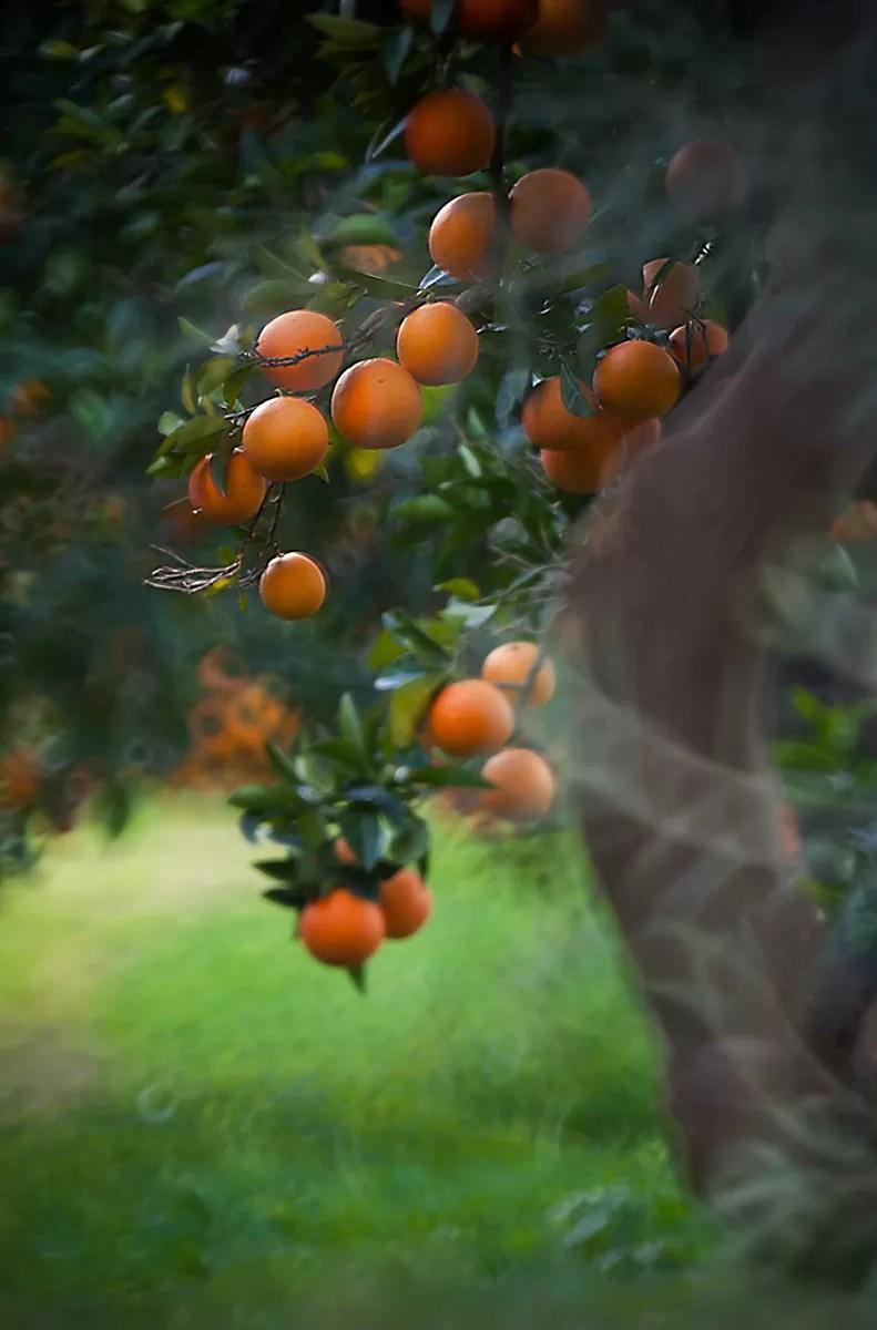 Sycylia, sycylijskie pomarańcze, gdzie jechać do Włoch