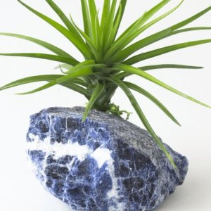 Air plant on sodalite