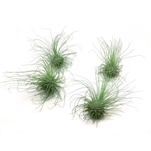 air plant fuchsii v gracilis