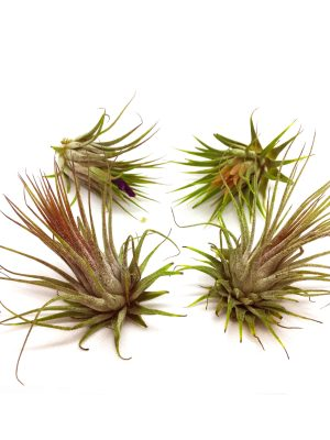 Tillandsia Air Plants - Ion Guatemala