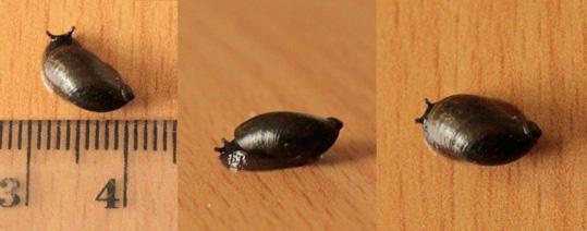 ambrette-noire