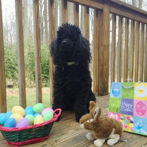 Auggie - Happy Easter