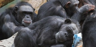 An image of a group of chimpanzees