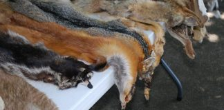 photo of animal pelts on a table.