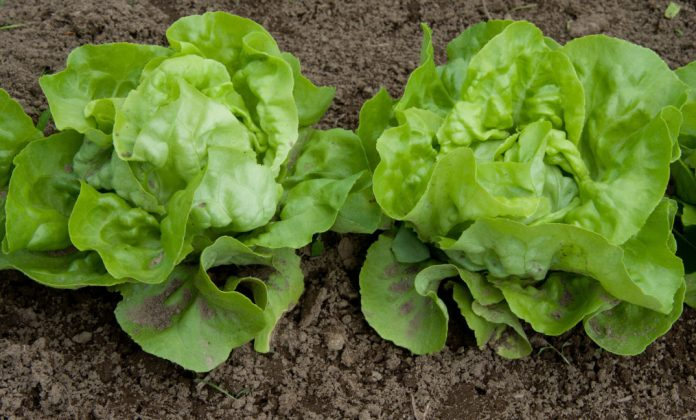 Close-up photo of two heads of mini lettuce growing in a field