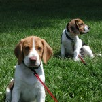 Two beagle puppies on leashes sitting in a field of green grass