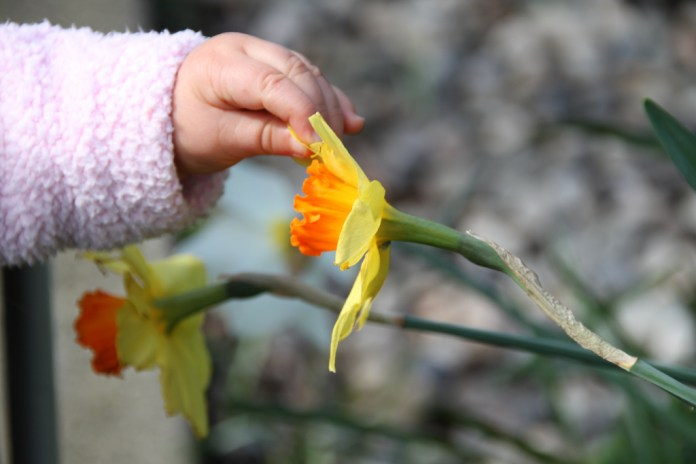 A baby's hand holding a daffodil petal