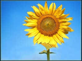 Photograph of a sunflower in sunshine with blue sky behind