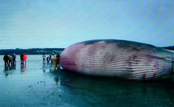 image of beached whale with human onlookers