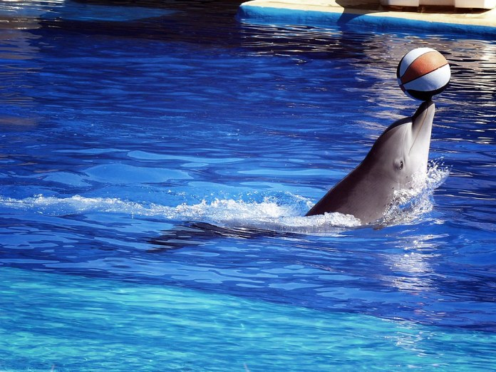 photograph of dolphin balancing ball at zoo