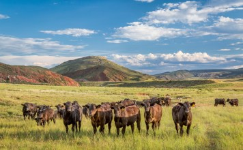 photogrpah of cattle at the foothills of the Rocky Mountains