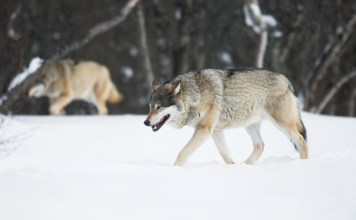photograph of two wolves stalking in the snow