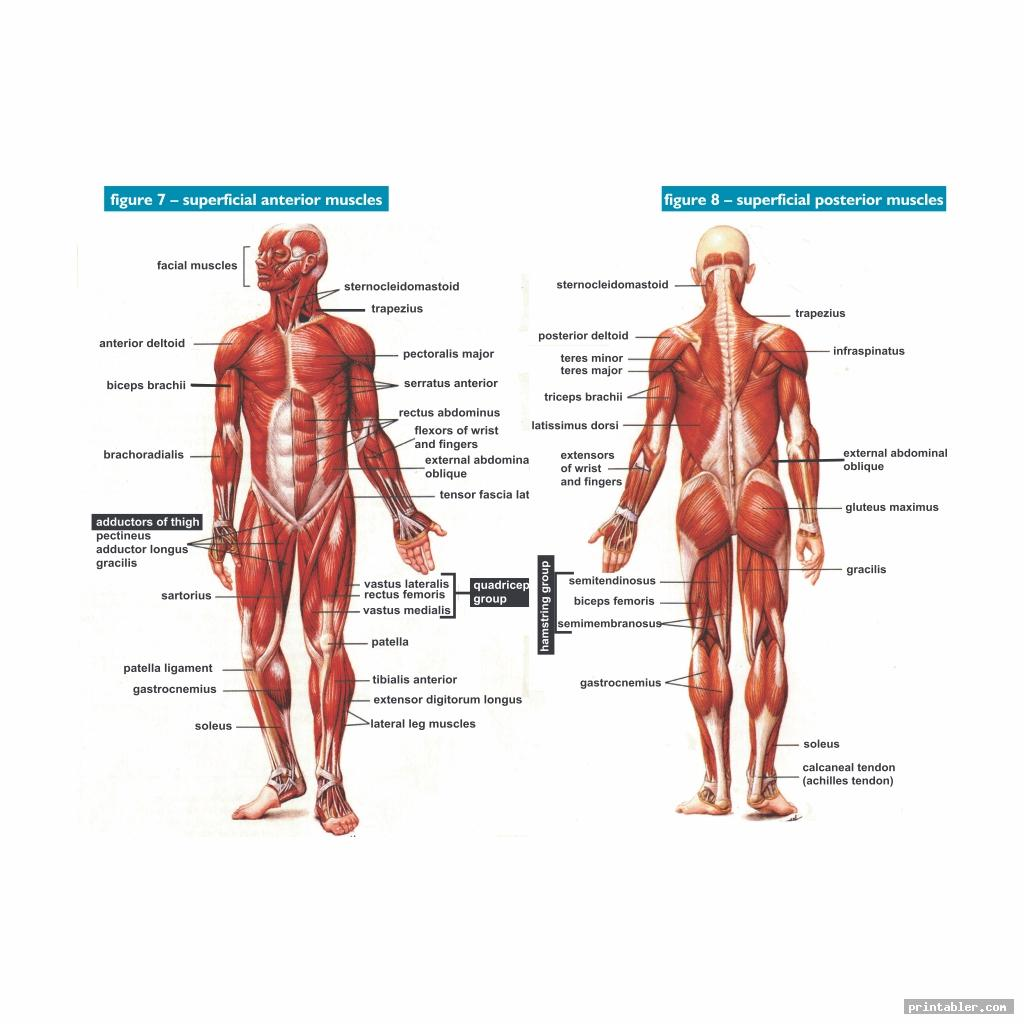 Printable Worksheets Muscle Anatomy