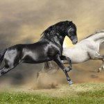 Black White Horses Side Print A Wallpaper More