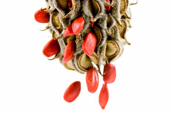 Thumbnail for Botany Blueprint: The Southern Magnolia