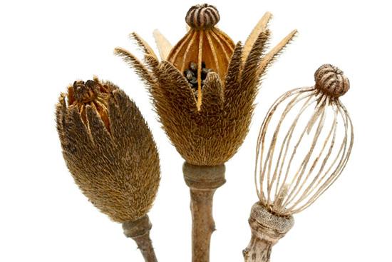 Thumbnail for Botany Blueprint: The Matilija Poppy