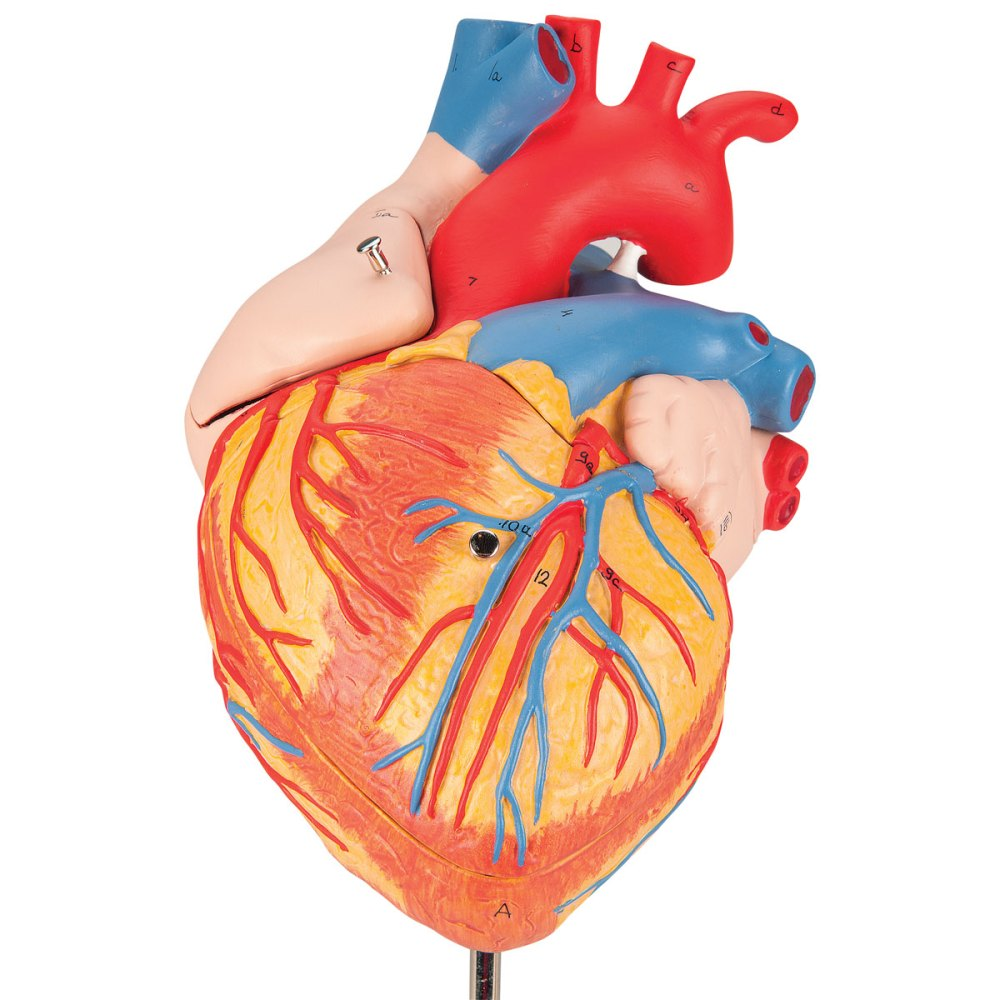 G12_01_1200_1200_Heart-2-times-life-size-4-part