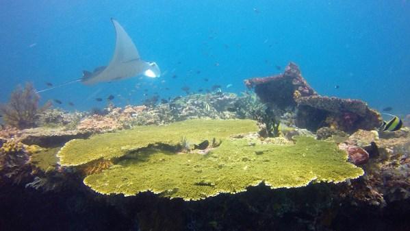 manta raya en Komodo
