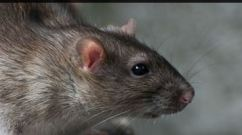 Mice Pest Control In Wilmslow