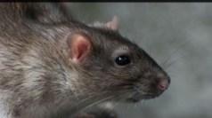 Rat Pest Control in Altrincham