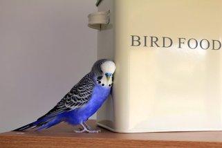 Parakeets bird