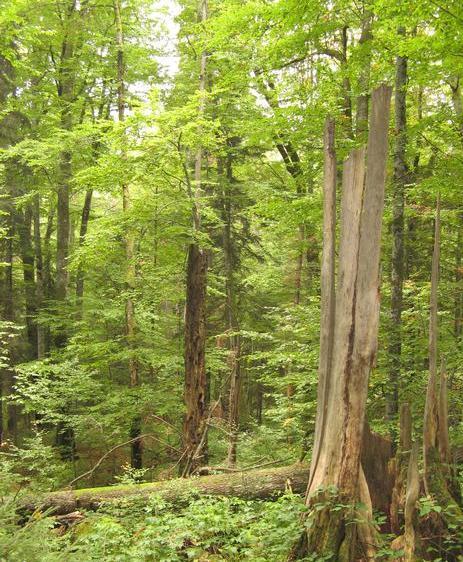 Буковый лес в Карпатах