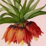 Le pouvoir des fleurs Pierre-Joseph Redouté (1759-1840)
