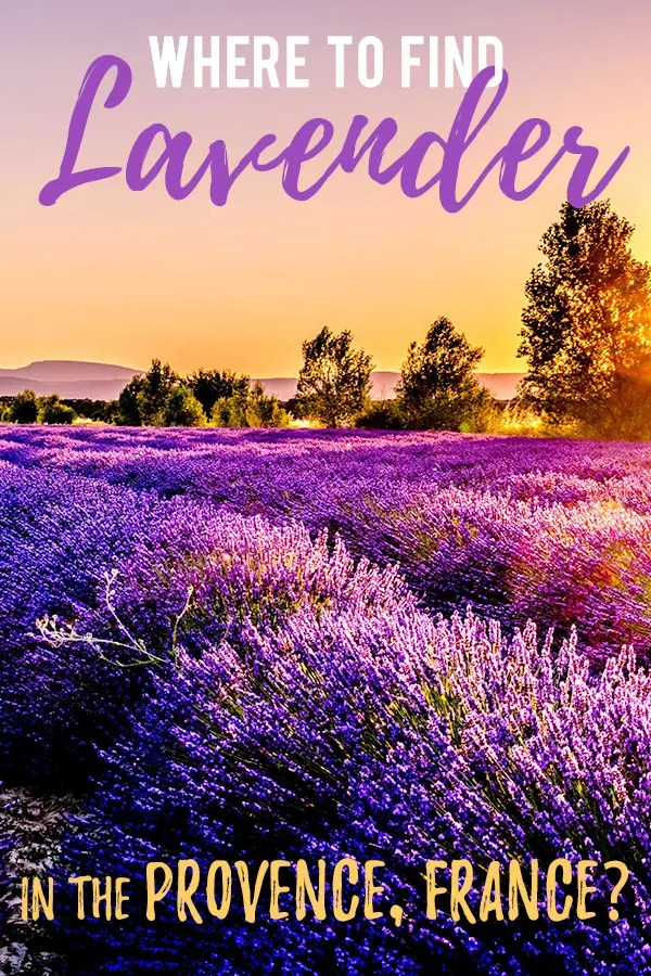Purple Fields of Lavender with golden sunset and trees in the distance. Text overlay saying Where to Find Lavender in the Provence France