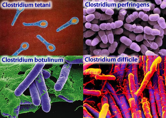 clostridia bacteria probiotics healthy