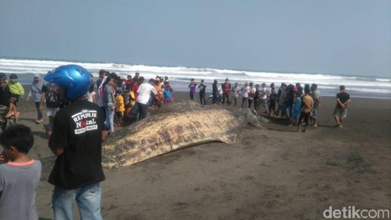 Bangkai ikan paus yang terdampar di Pantai Bunton