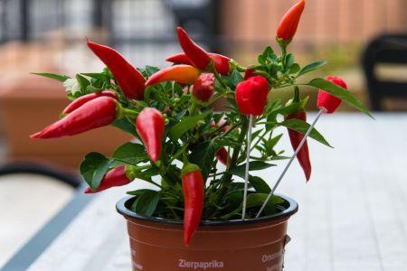 chilli papričky pěstování