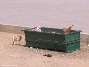 Chèvres et déchets urbains à Saint-Louis