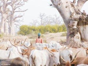 Un éleveur et son troupeau vers Thiès