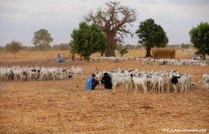 Éleveurs mauritaniens vers Tambacounda venus pour la Tabaski