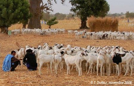 Sénégal-Le commerce de bétail sur pied-La Tabaski, géographie de la fête des moutons-Éleveurs mauritaniens vers Tambacounda venus pour la Tabaski