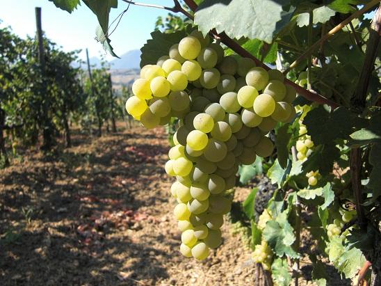 vitigno a bacca bianca verdicchio