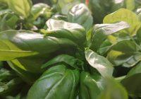 Basilico: il basilico genovese DOP